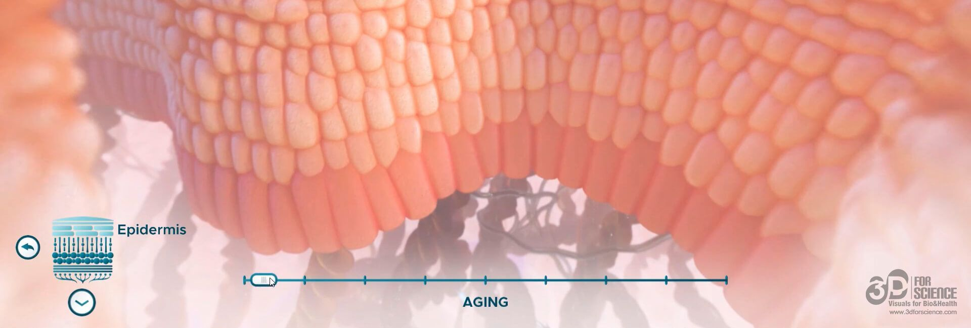 image of epidermis in a visual of elearning medical design